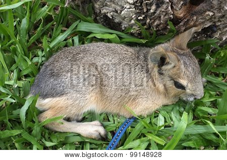 Dolichotis patagonum, Patagonian mara, little animal