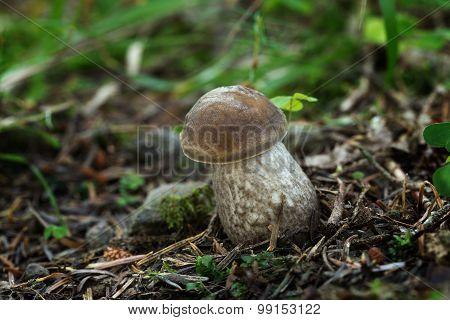 Leccinum Pseudoscabrum, Edible Mushrooms