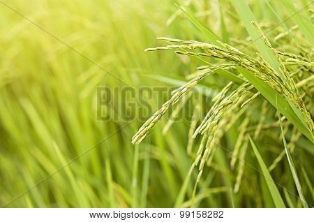 growth paddy rice in rice fields at countryside
