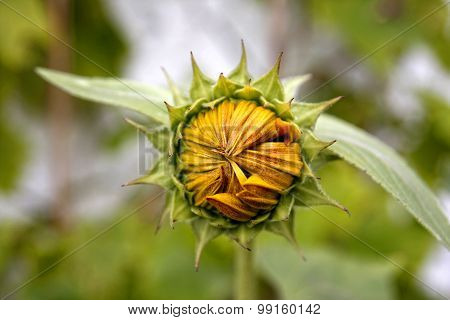 Yellow Sunflower With Closed Petals