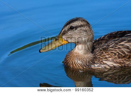 Head Of Wild Duck