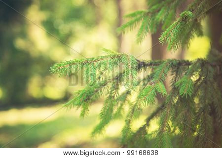 Fir-tree In Park