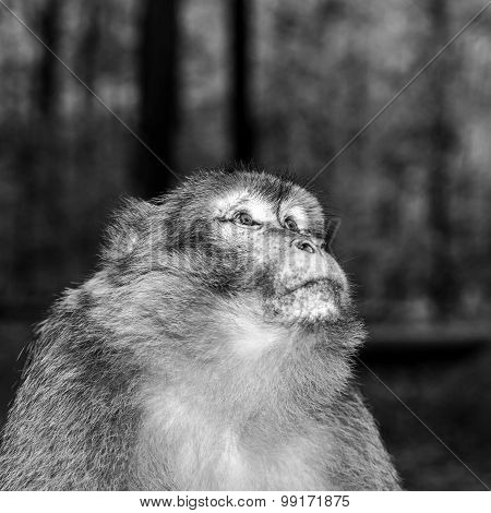 Emotional Close-up Portrait Of Mocaco Monkey