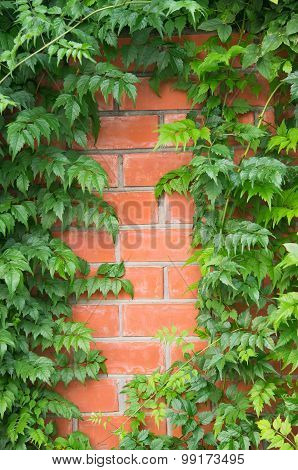 Campsis vines on a brick wall