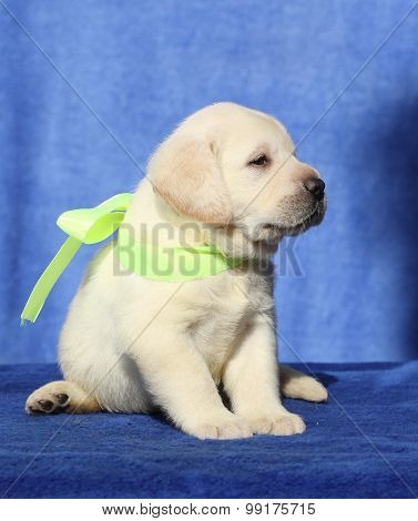 The Nice Little  Labrador Puppy On A Blue Background