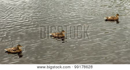 Three Mallard ducks swimming in lake.