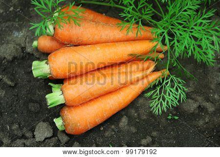 New fresh carrots on soil in garden