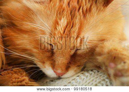 Closeup of resting red cat