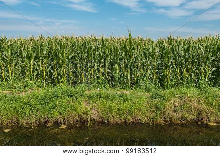 Fodder Maize Growing On The Edge Of A Ditch