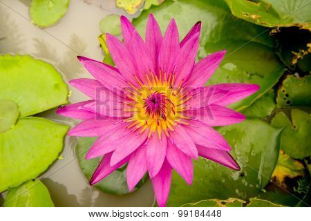 Pink Lotus Bloom In The Pond.
