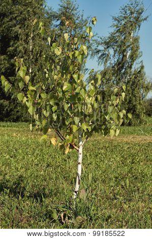 Sapling Birch On A Meadow In Summer Day