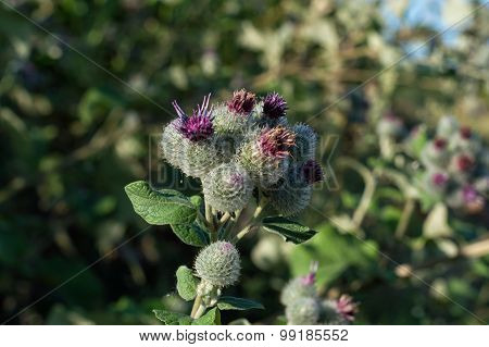 Prickly Flower In The Field
