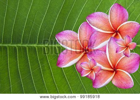 Plumeria flower for spa with Green background,spa flower