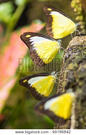 Four Butterfly With Yellow Wings