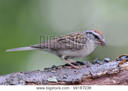 Chipping Sparrow Eating Seeds