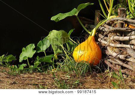 pumpkin Hokkaido vegetable patch