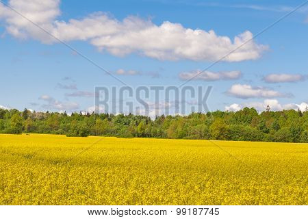 Landscape with the sky, the forest and rape field