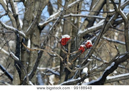 Snow on Staghorn Sumac (bob) Shrub