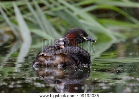 Little Grebes