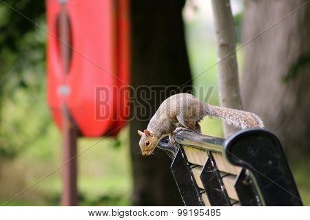 Urban Park Squirrel