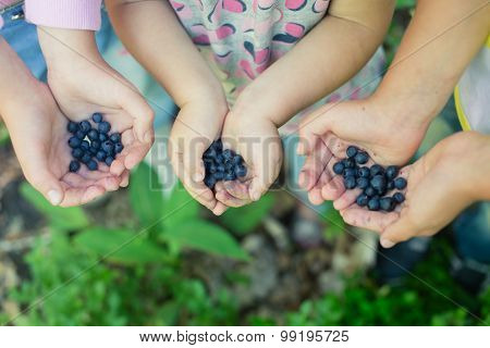 Freshly Picked Wild Blueberries In Children's Hands