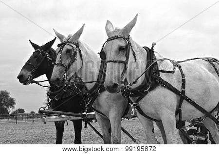 Team of harnessed mules