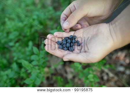 Freshly Picked Organic Blueberries In Woman's Hands