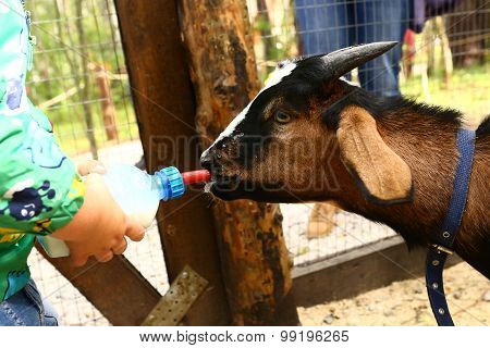 young baby goat drink milk from nipple bollte