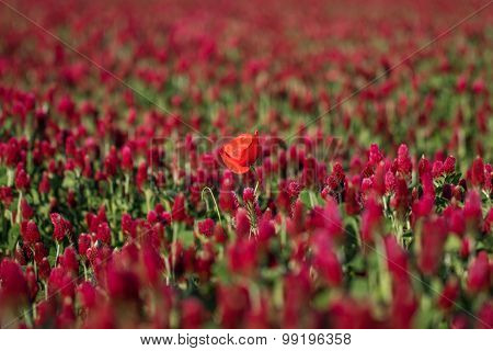 Red Poppy In A Field Of Clover