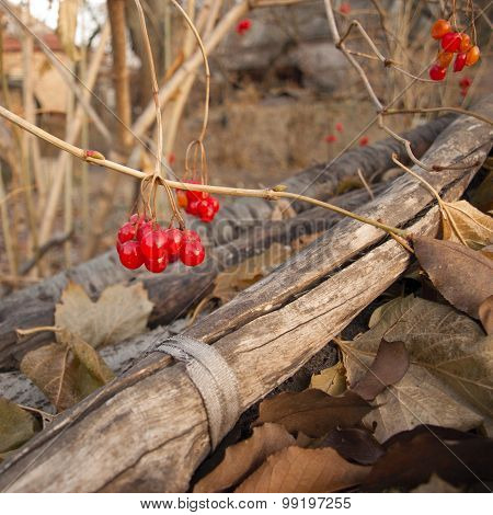 Red Berries, Viburnum Opulus