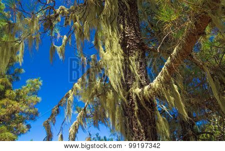 Inland Gran Canaria, Canary Islands Pine Tree Covered In Usnea, Beard Lichen