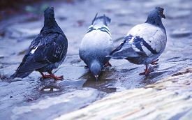stock photo of pigeon  - pigeon standing on a water fountain - JPG