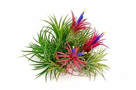 pic of tillandsia  - Airplant Tillandsia with flower on white background.
