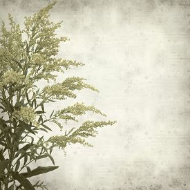 stock photo of goldenrod  - textured old paper background with Solidago goldenrod plant - JPG