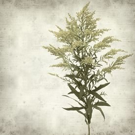 pic of goldenrod  - textured old paper background with Solidago goldenrod plant - JPG
