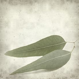 picture of eucalyptus leaves  - textured old paper background with eucalyptus leaves - JPG
