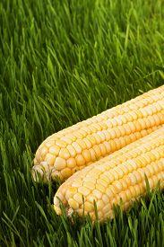 stock photo of corn cob close-up  - Corn cobs on green grass dew on the green grass fresh corn harvest healthy food vegetarian food corn close - JPG