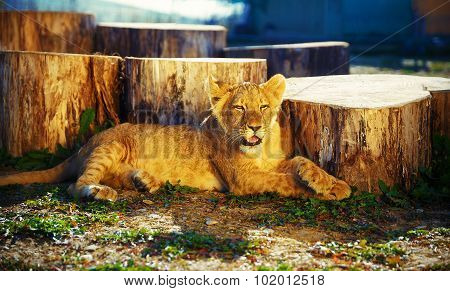 lion cub in nature and sunny day.
