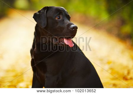 Black Labrador Sitting And Looking Away