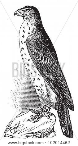 Cooper's Hawk or Accipiter Cooperi vintage illustration. Old engraving, lived traced vector from a scan from Trousset Encyclopedia 1886 - 1891