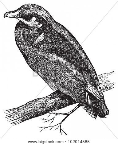 Wood duck, Carolina duck or Aix sponsa engraving. Old antique illustration of Wood duck on a branch.