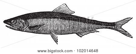 European anchovy or engraulis encrasicholus old vintage engraving. Anchovy fish engraved illustration in vector, isolated on white.