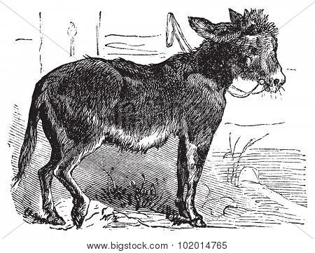 Domesticated donkey, ass, asinus vulgaris or Equus africanus asinus old vintage engraving. Donkey eating grass, engraved illustration in vector.