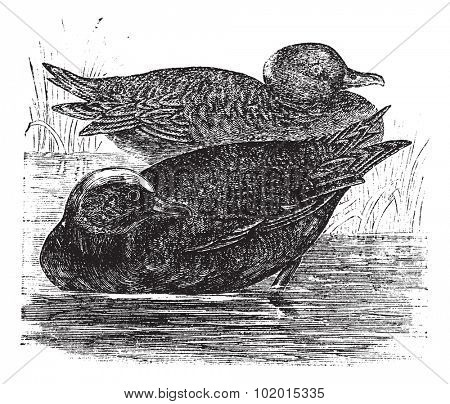 Wigeon  or Anas americana vintage engraving. Old engraved illustration of beautiful dabbling ducks.