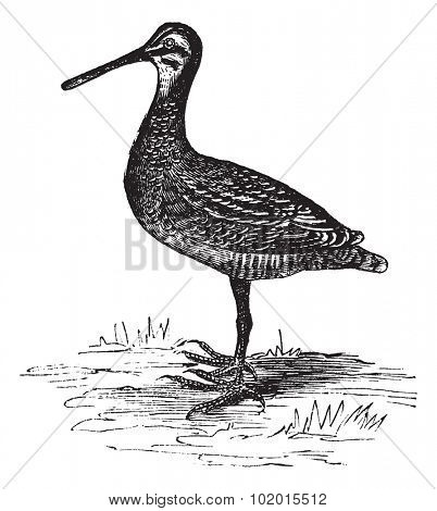 Wilson's Snipe , Scolopacidae, Gallinago , or Gallinago delicata. Vintage engraving. Old engraved illustration of a Wilson?s snipe bird found in North America.