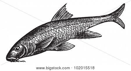 Barbus barbus, Barbel, Barbus, Pigfish or Common Barbel. Vintage engraving. Old engraved illustration of a Common Barbel. A freshwater fish that native throughout Europe and China.