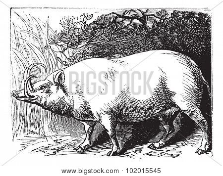 The Babirusa, Babyrousa, Buru babirusa or Pig-deer. Vintage engraving. Old engraved illustration of a a pig-deer specially found in some islands of Indonesia.