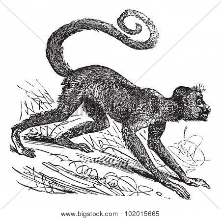 Ateles paniscus, Red-faced spider monkey, Guiana spider monkey or Red-faced black spider monkey. Vintage engraving. Old engraved illustration of a Red-faced spider monkey on his four legs