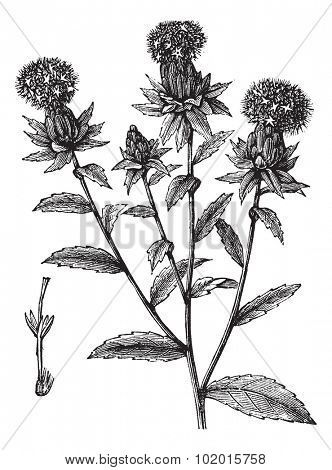 Carthamus tinctorius or safflower or false saffron vintage engraving. Old engraved illustration of safflower plant.