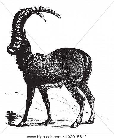 Alpine Ibex also known as Capra ibex, goat engraving. Vintage engraved illustration of Alpine Ibex, goat.